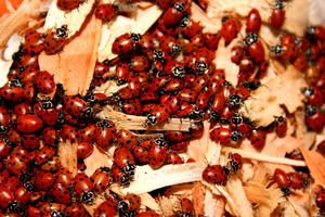 LadyBugs by celtictreeoflife