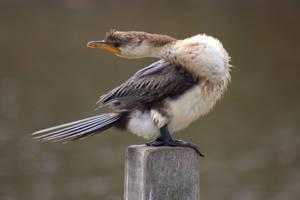 Little Pied Cormorant by AdamsWife