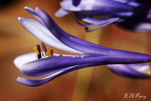 Agapanthus 3 by AdamsWife