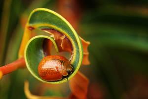 Tortoise Leaf Beetle by AdamsWife