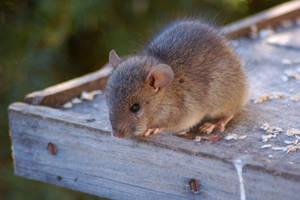 Black Rat by AdamsWife