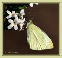 White cabbage butterfly by AdamsWife