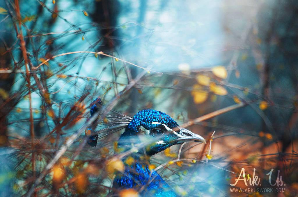 Paon bleu by Arkus83