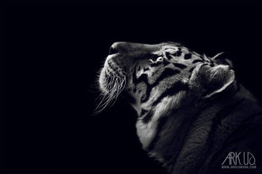 Tiger by Arkus83