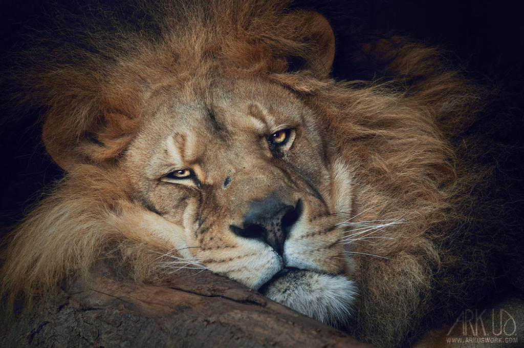Le repos du lion by Arkus83