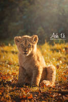 Lion cub by Arkus83
