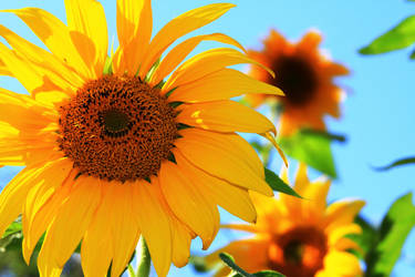 SunFlowerS MoRe by picture-da-picture