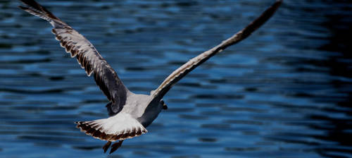 Gibson Gull by picture-da-picture
