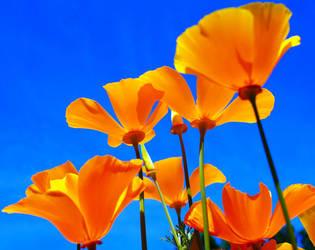 Poppies Orange by picture-da-picture
