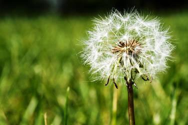 Dandelion by picture-da-picture