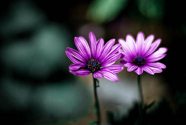 two flowers by zarzibar