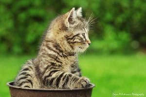 Little tiger by ZoranPhoto