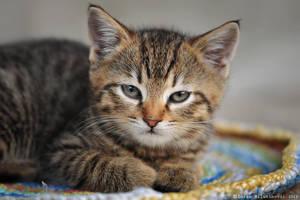 Soft Kitty, Warm Kitty by ZoranPhoto