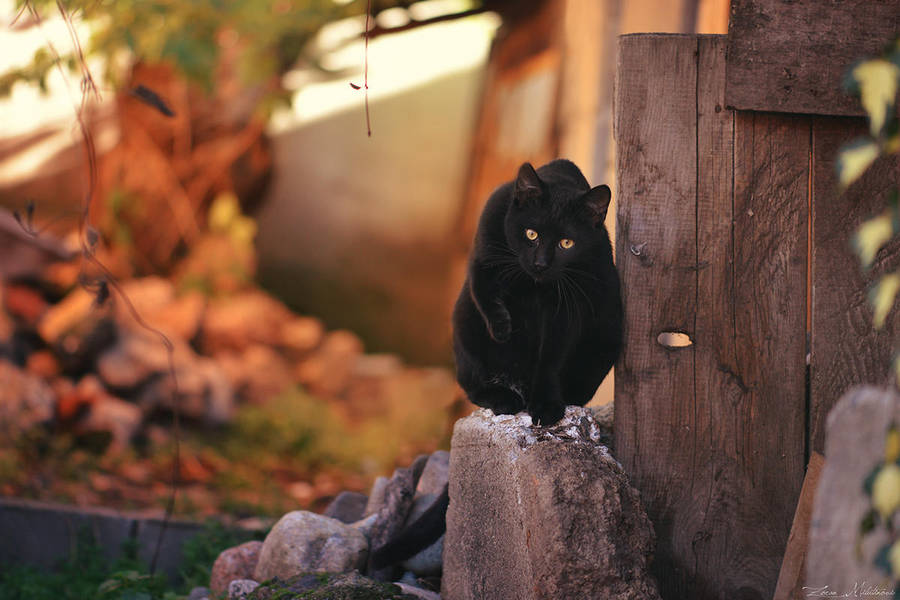 Black panther by ZoranPhoto