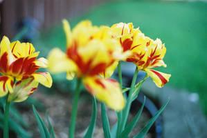 Tulip by squazilla