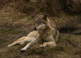 wolf stock 01 by Nexu4