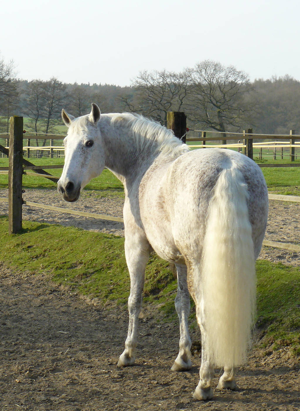 grey andalusian back - looking by Nexu4