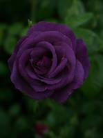 dark purple rose 01 by Nexu4