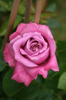 perfect pink baroque rose by Nexu4