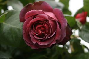 deep red rose flower antique by Nexu4