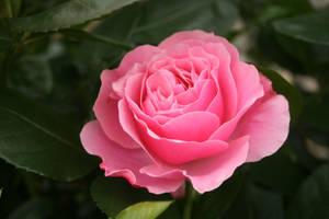 pink filled baroque rose flower by Nexu4