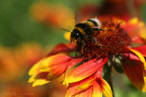 bumblebee starts to fly - Hummelstart by Nexu4