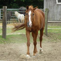 chestnut horse slowly walking by Nexu4