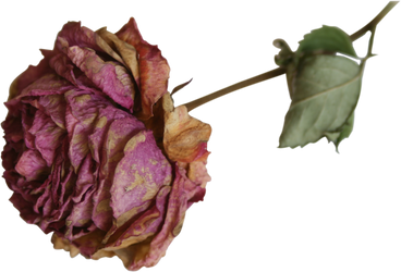 dried flower rose precut png by Nexu4