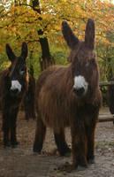 Poitou Esel donkey 02 by Nexu4