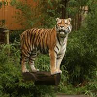 tiger standing by Nexu4