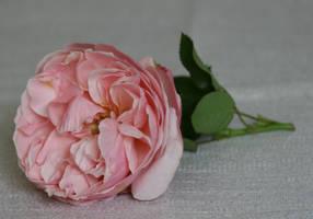 baroque rose lying by Nexu4