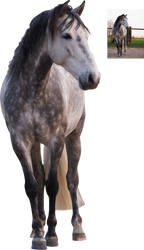 andalusian horse standing grey white png precut by Nexu4