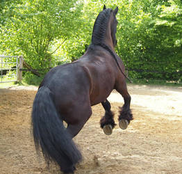black horse frisian rearing back view by Nexu4