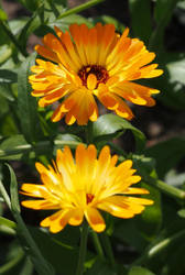 orange flower Calendula Ringelblume by Nexu4