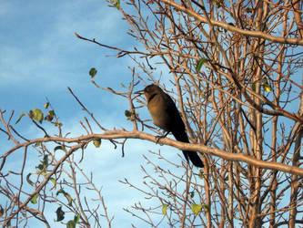 Black bird by milobo