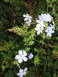 Star Jasmine Flowers by milobo