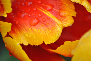 Raindropped Tulip by PennineRosa