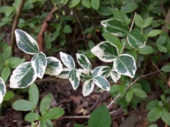classic ivy by kaidi10