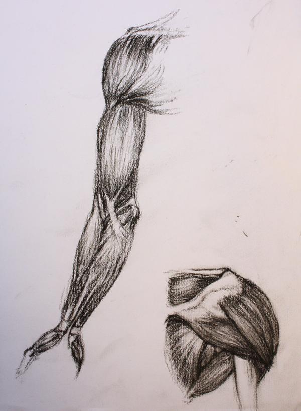 Muscle Anatomy Sketches By Snowwhirls On Deviantart