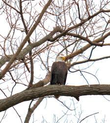 Bald Eagle by TomKilbane