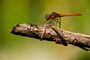 Dragonfly - Macro by rontz