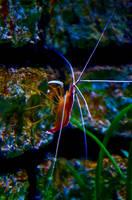 Shrimp by rontz