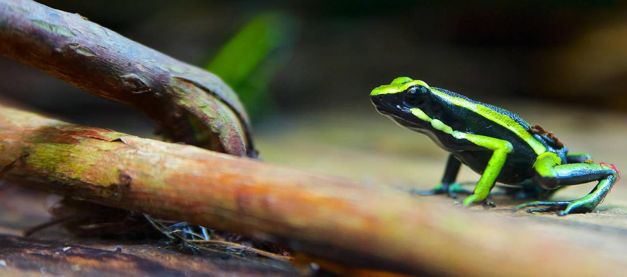 Poison dart frog Ameerga trivittata by rontz