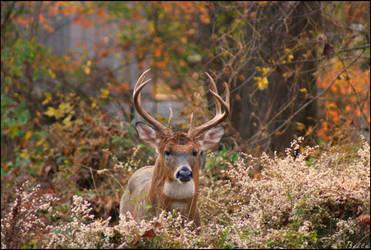 Whitetail Buck by Bellayona