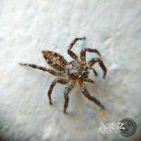 Brown Jumping Spider by iamjasz