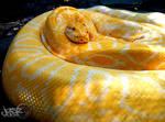 Burmese Python by iamjasz