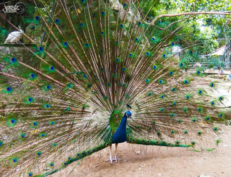 Peafowl by iamjasz