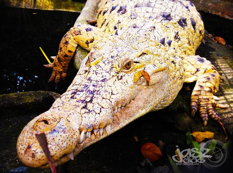 Yellow Alligator by iamjasz