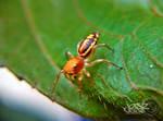 Orange Jumping Spider by iamjasz
