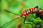 Red Cotton Stainer by iamjasz